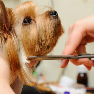 Dog getting trimmed by scissors